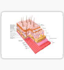 Anatomy of the human skin. Sticker