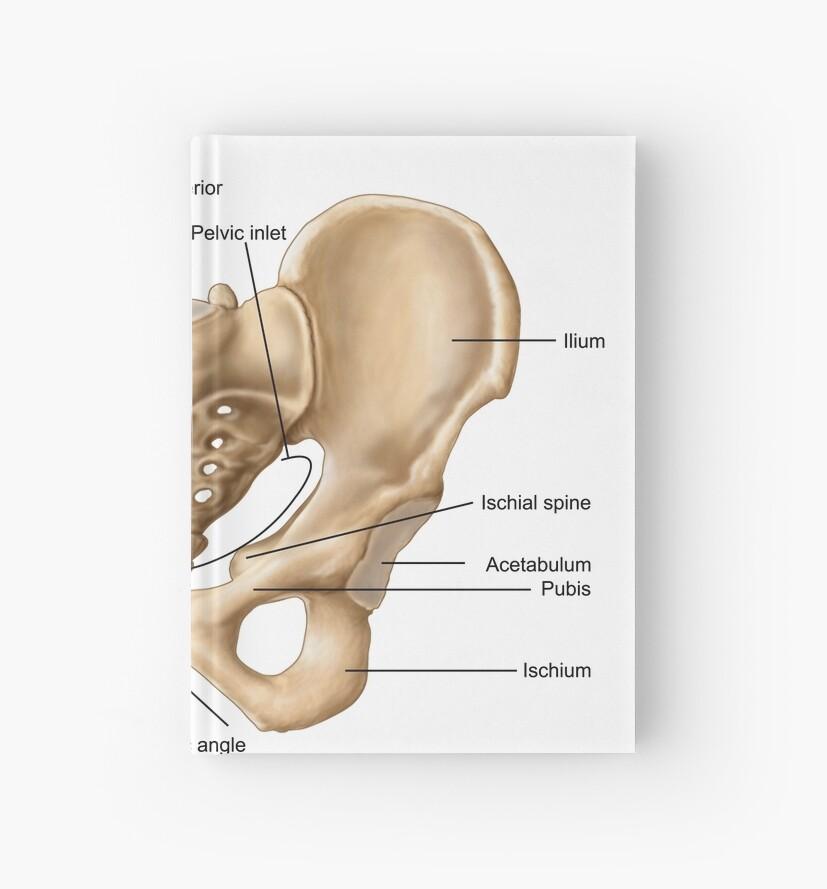 Cuadernos de tapa dura «Anatomía del hueso pélvico humano.» de ...