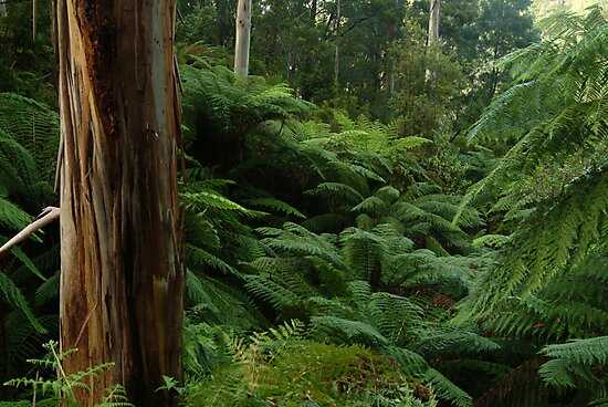 Ferns, Otway Ranges by Joe Mortelliti