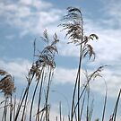 Phragmites Reed by Lindamell