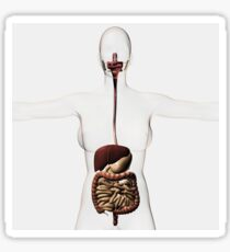 Medical illustration of the human digestive system. Sticker