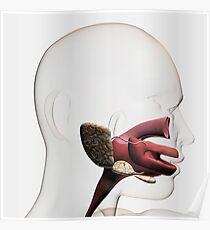 Medical illustration of the human digestive system. Poster