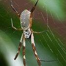 Golden Orb-Weaver by kies