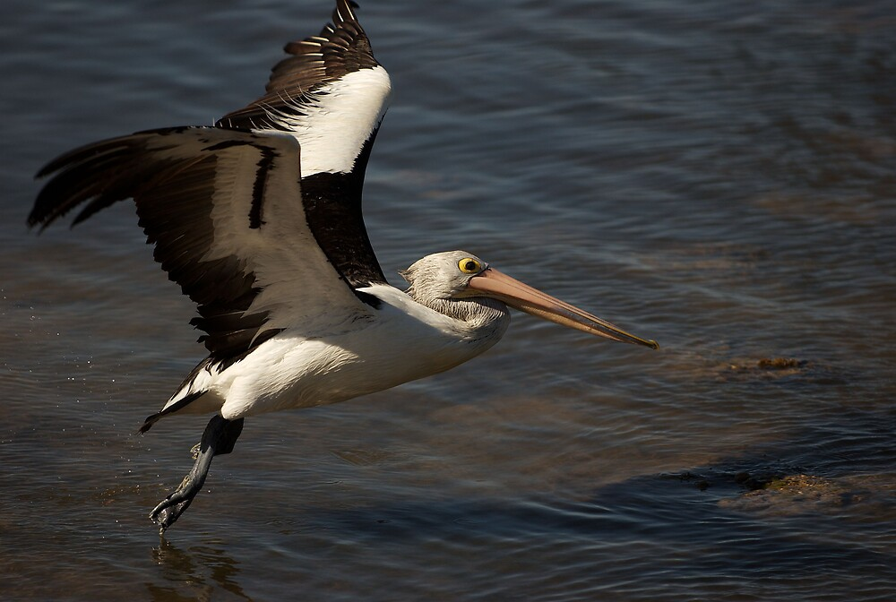 Flying Pelican  by Geoffrey Chang