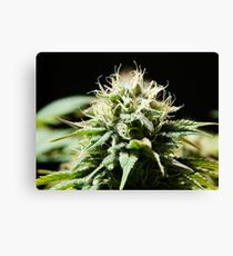 Cannabis - Bloom Canvas Print