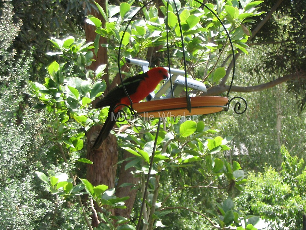 king parrot in feeder by Michelle Whelan