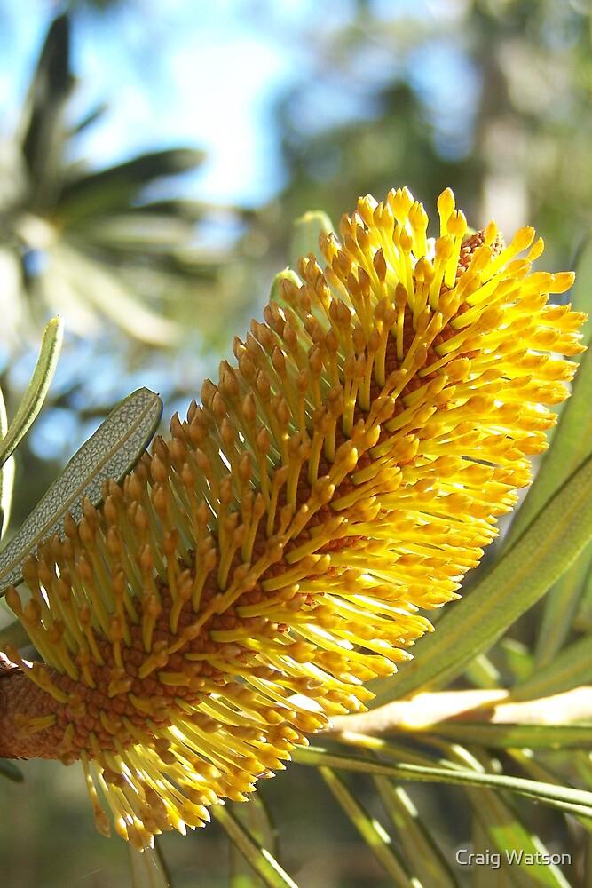 Banksia Flower - Adelaide Hills by Craig Watson