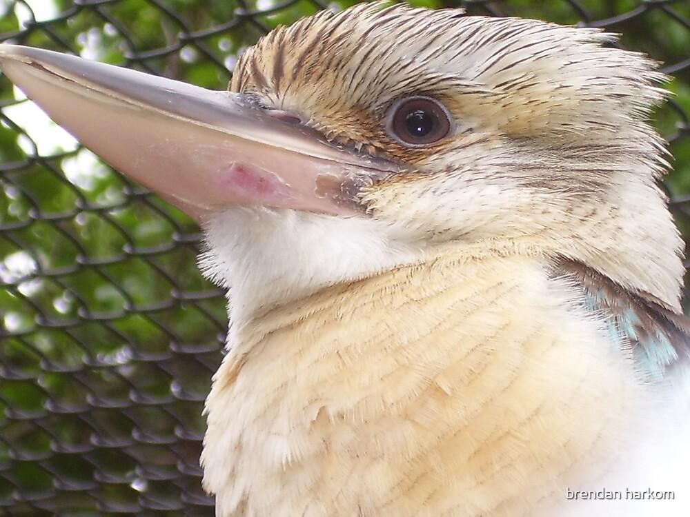 Kookaburra by brendan harkom