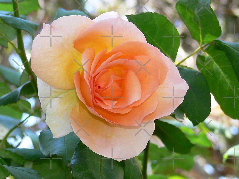 Apricot Rose by Sandra Chung
