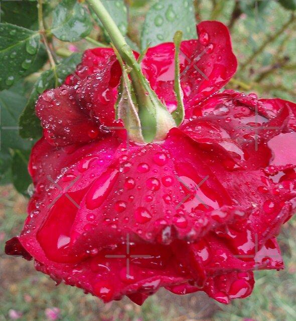 Rose Puddles by georgiegirl