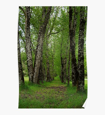 Silver Birch Trees, Otway Ranges Poster