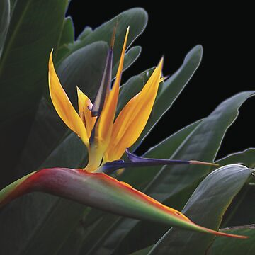 Bird of Paradise by lushmint