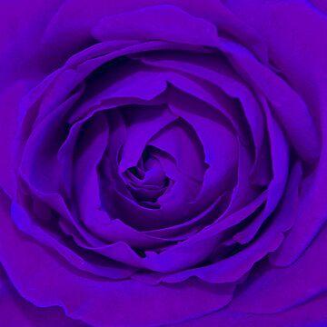 Purple Rose by lushmint