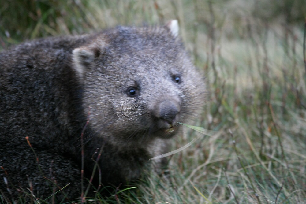 Wombat by Mark Williamson