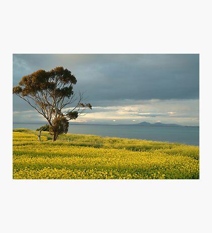 Golden Fields, Bellarine Peninsula Photographic Print