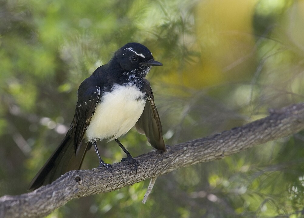 Willy Wagtail by RedChevy