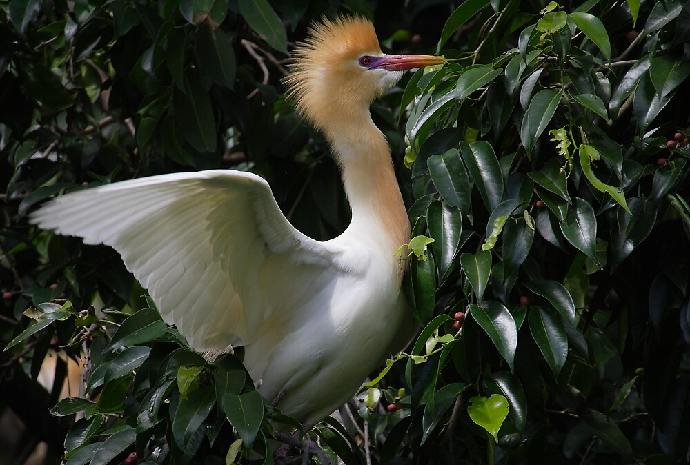 Cattle Egret (Bubulcus ibis) by RedChevy