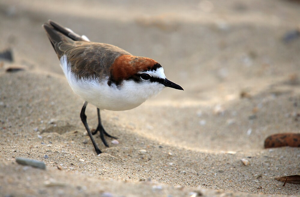 Red-Capped Plover #3 by RedChevy