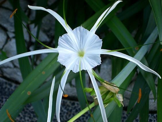 White Star by miyuki
