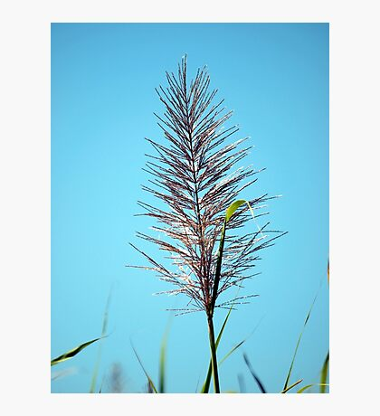 SUGAR CANE FLOWER Photographic Print