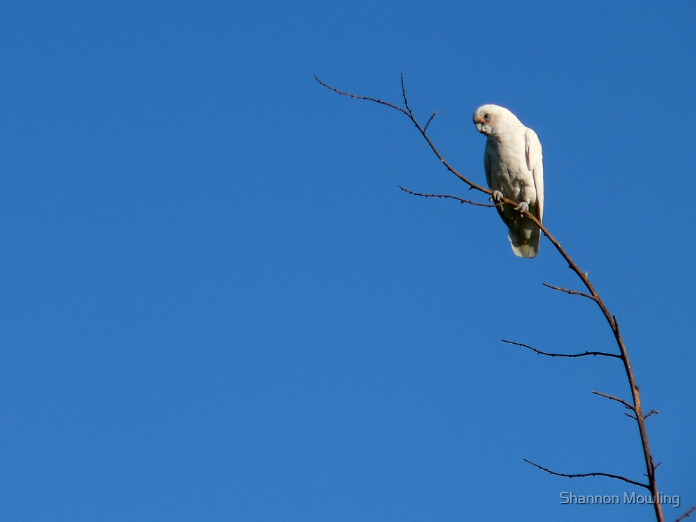 Cockatoo by Shannon Mowling