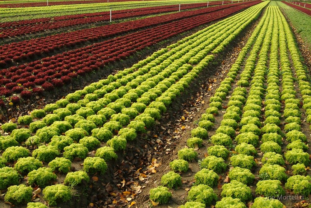 Lettuce Farm by Joe Mortelliti