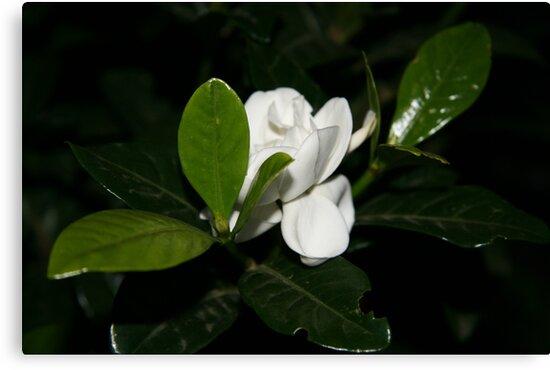 Gardenia Flower by Charlotte Morison