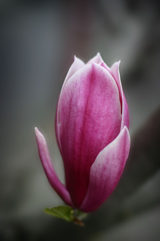 Magnolia by Mark Williamson