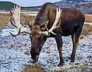 Bull Moose by Yukondick