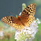 Great Spangled Fritillary Butterfly by Linda Crockett