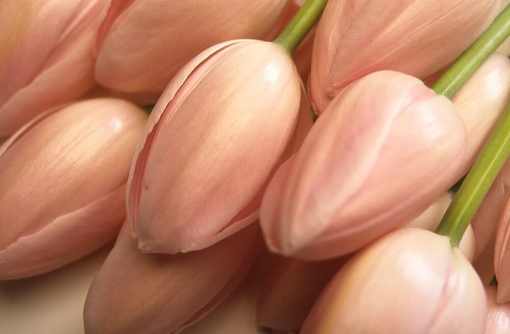 Pink tulips by Heidi Wernicke