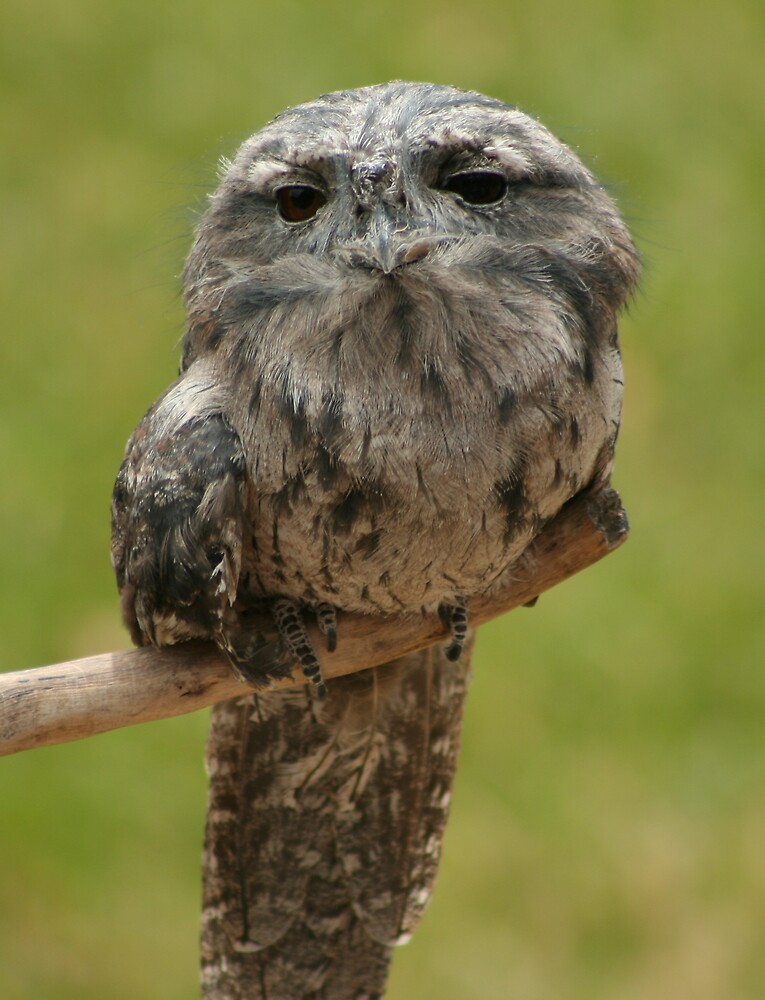 Tawny Frogmouth by Adam Tibballs