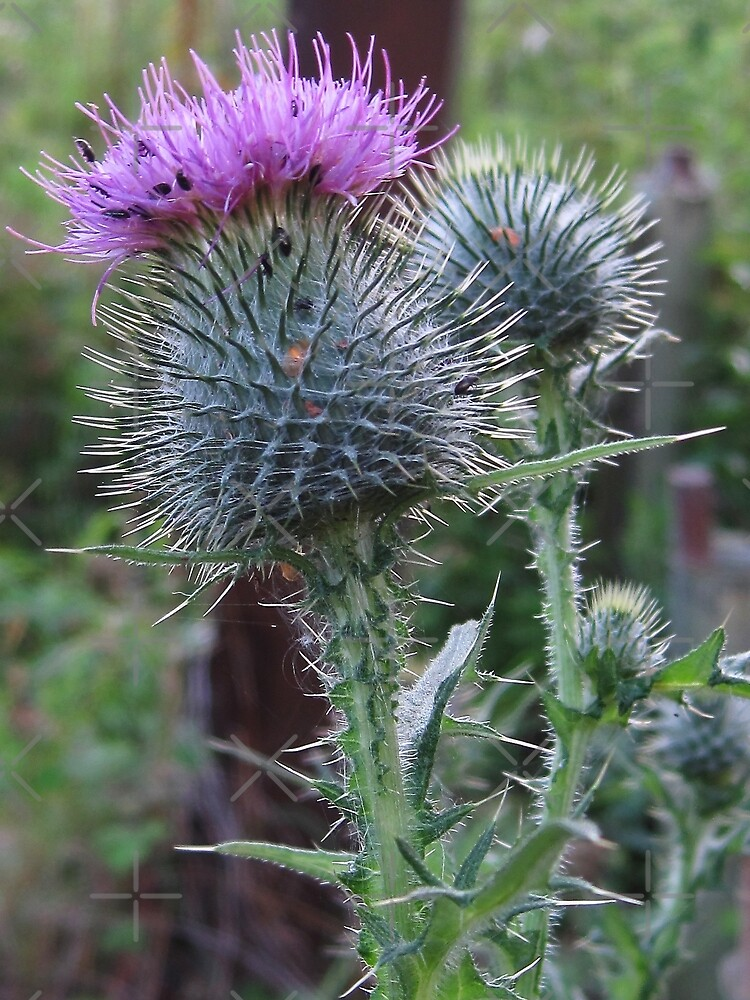 Beetles on a Thistle by Tom Gomez