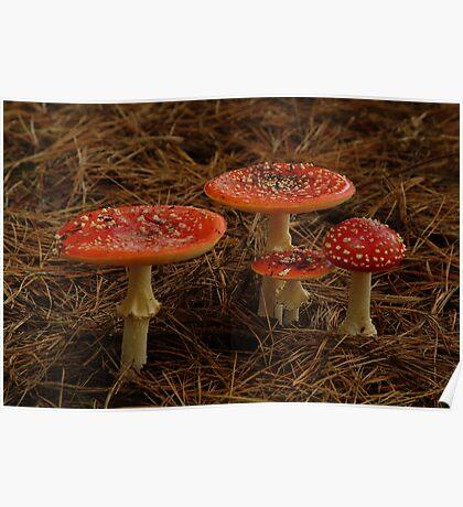Red Fungi,Otway Ranges Poster