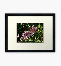 Hibiscus Blossoms Framed Print