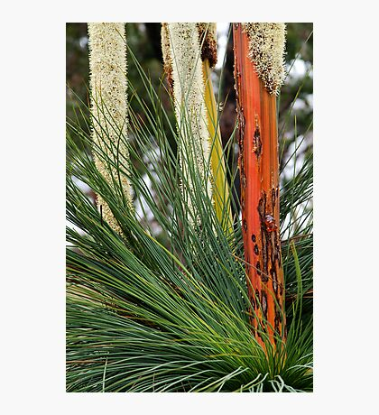 Grass Trees, Brisabane Ranges Photographic Print