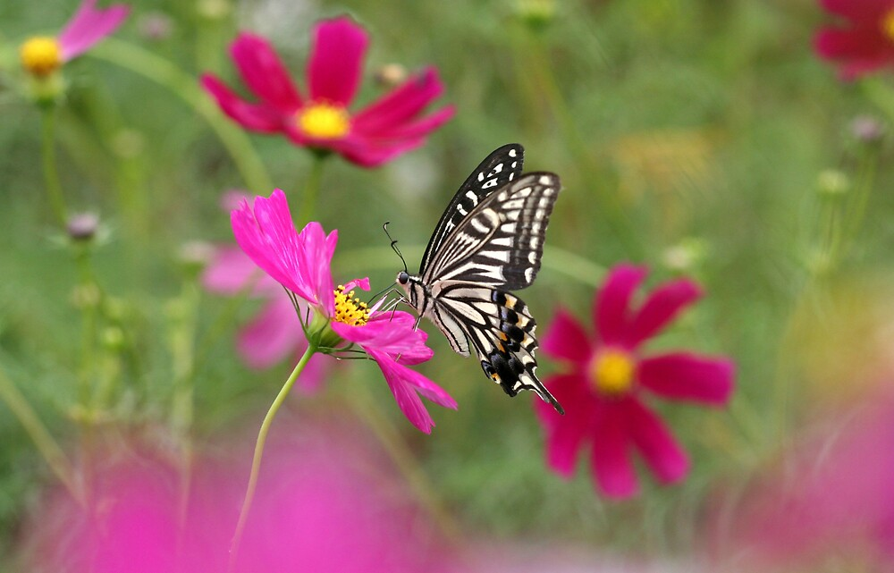Black & White Butterfly on Hot Pink Flowers by hiratadigital