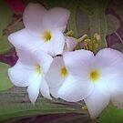 Plumeria Pudica by kkphoto1