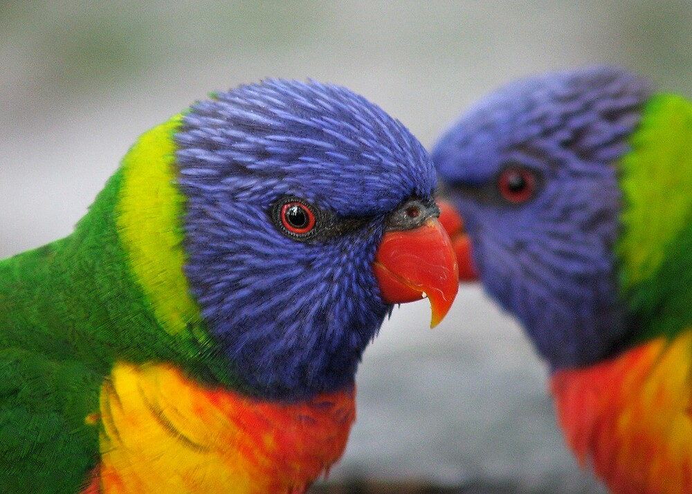 Rainbow Lorikeets by Ally