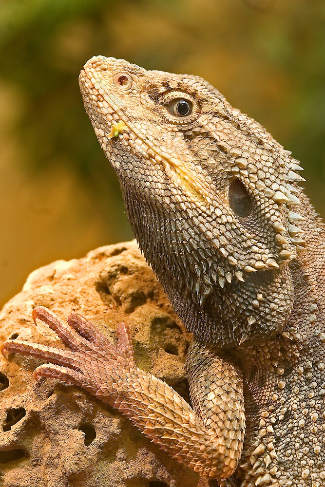 Eastern Bearded Dragon by RedChevy
