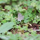 African grass blue laying eggs by richeriley