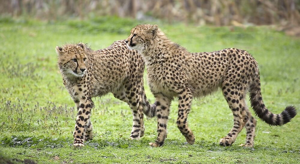 Cheetah Twins by RedChevy
