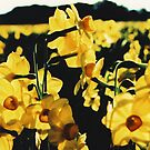 Jonquils3 by danno