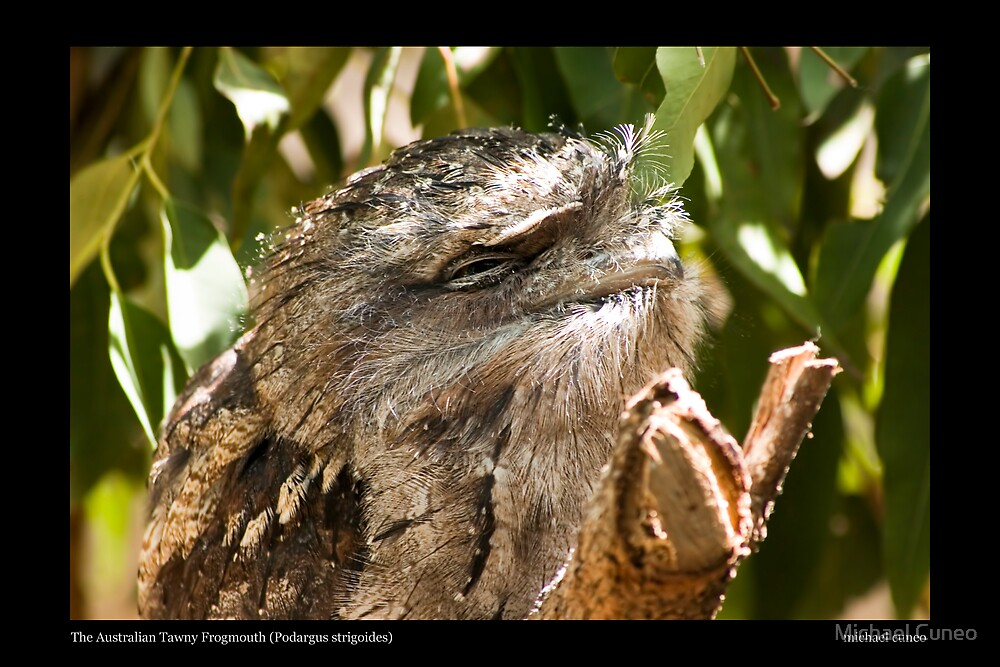 The Australian Tawny Frogmouth by Michael Cuneo