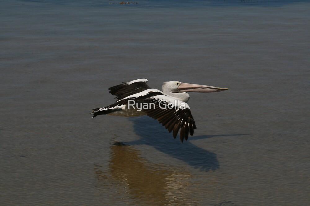 Pelican Flight by Ryan Golla