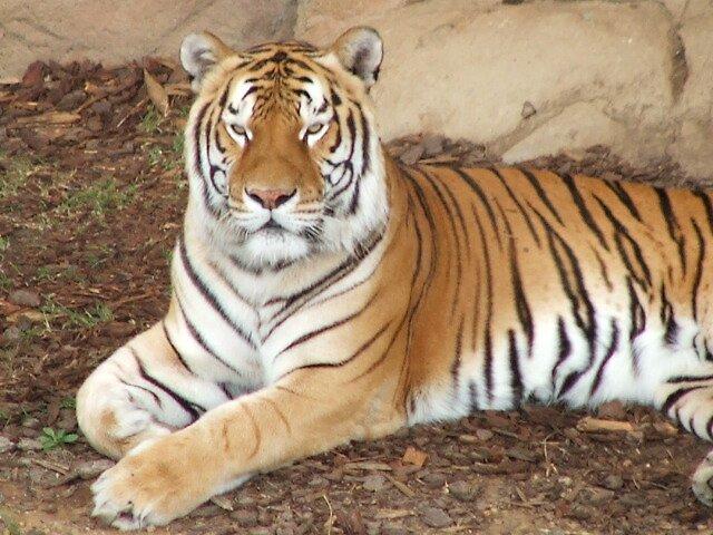 tiger 2 by simonsinclair