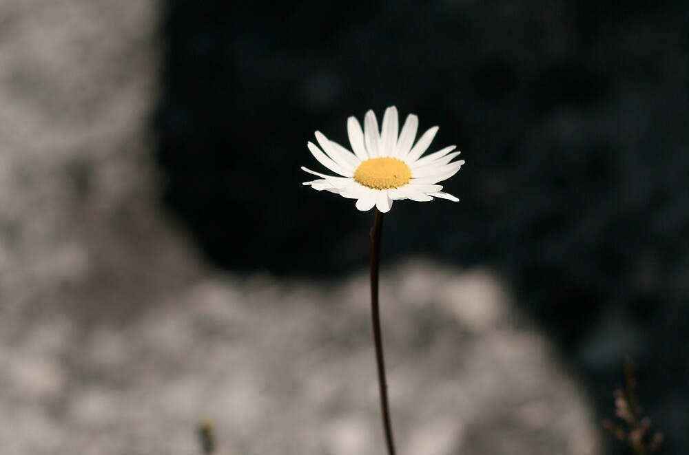 Daisy growing through rocks by bevan