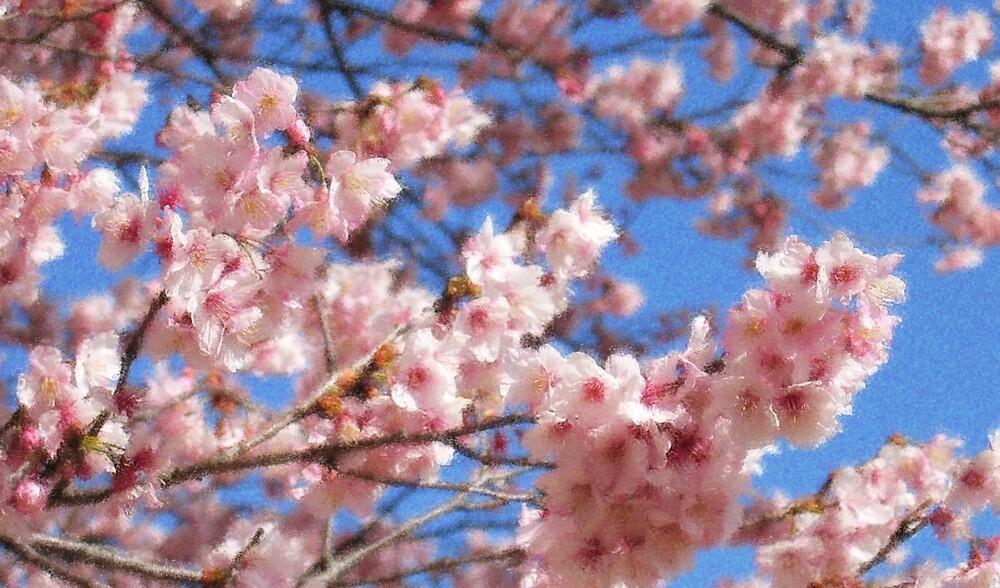 CherryBlossom by Sally Li