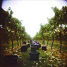 vineyard by trundles