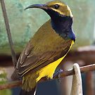 Sunbird (Male) by triciaoshea